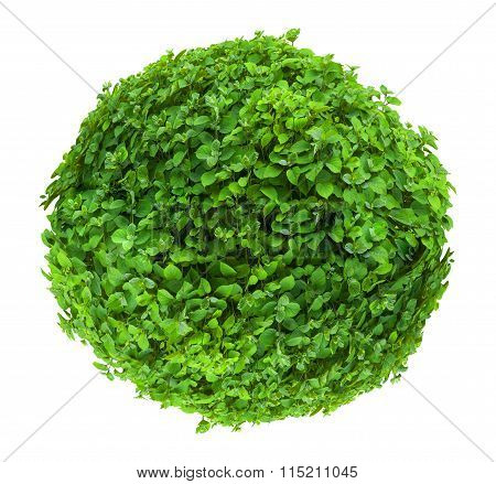 Fresh Ball Shaped Bush Isolated On White Background