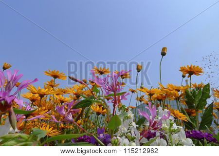 Mixed Summer Anual Flowers In Blue Sky