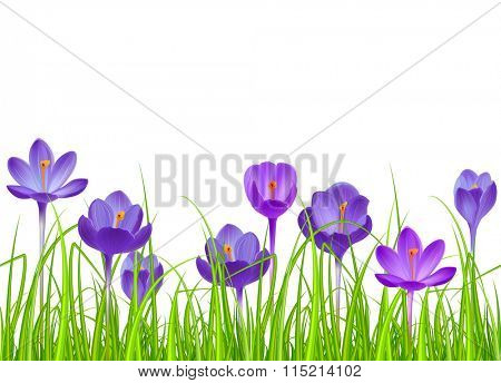 Seamless horizontal border with blue crocuses.  Seamless pattern for your design, easter greeting cards, announcements, posters.