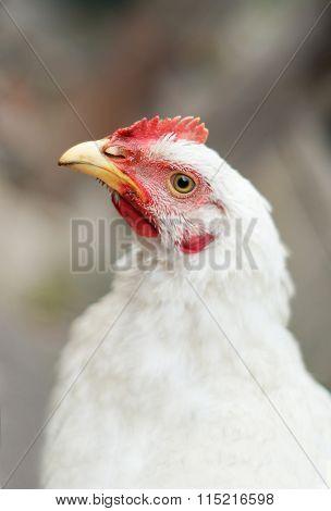 The muzzle white chicken