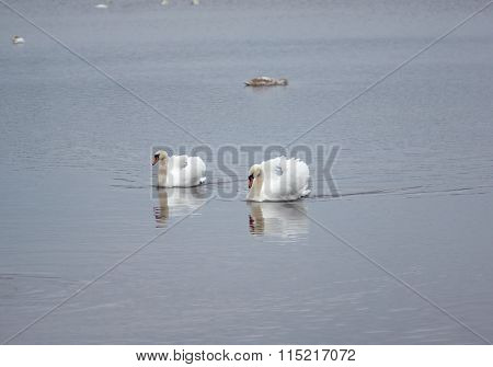 Wild geese and swans in the Slokas lake, Latvia