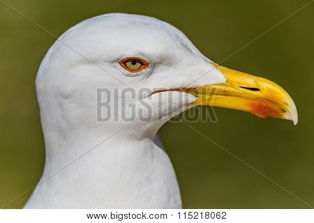 Head Of Seagull With Green Background
