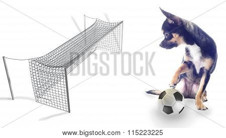 Dog Chihuahua Looking At The Goal