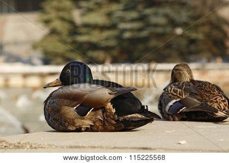 Wild Mallard ducks sitting on waterfront