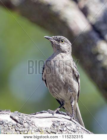 Mockingbird Perched on Tree Branch