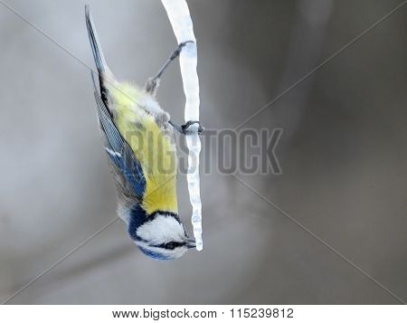 Upside Down Blue Tit On Maple Sap Icicle