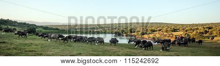 Buffalo at the Addo Elephant National Park in South Africa