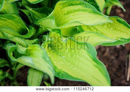 wet multicolor hosta leaves in spring garden. Great plant for shady spots.