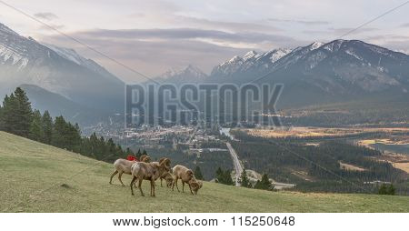 view point of banff national park with sheep and charis, canada.