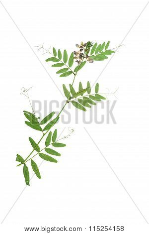 Pressed And Dried Blue Flower  Forest Peas