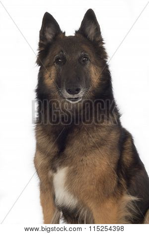 Dog, Belgian Shepherd Tervuren, Isolated