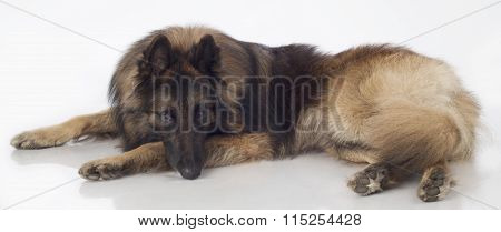Dog, Belgian Shepherd Tervuren, Lying, Isolated