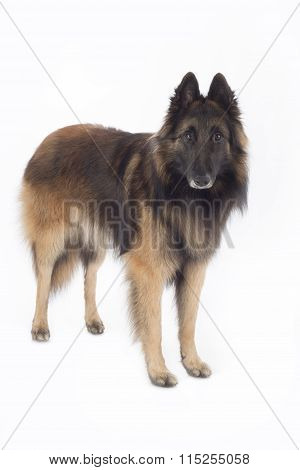 Dog, Belgian Shepherd Tervuren, Standing, Isolated