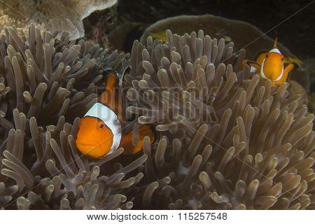 Pair Clownfish Anemonefish