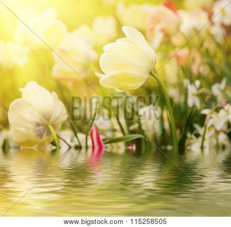 White tulip flowers