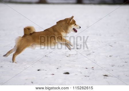 Shiba Inu Dog On Snow