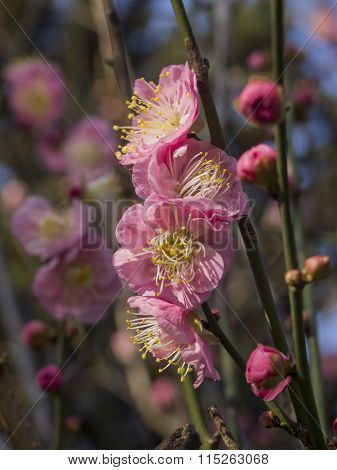 Pink Plum Flower Blossom In Taiwan