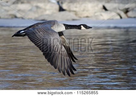 Canada Goose Flying Over The Frozen Winter River