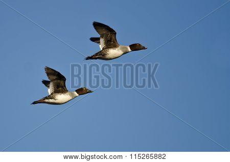 Two Common Goldeneye Ducks Flying In A Blue Sky