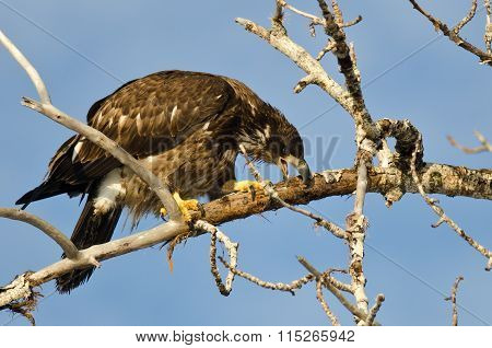 Young Bald Eagle Taking A Bite Out Of A Dead Branch