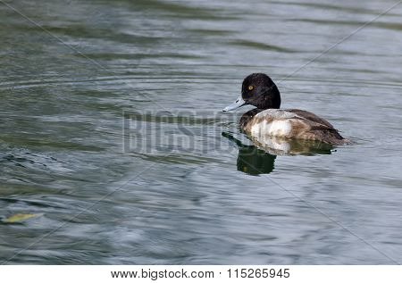 Male Scaup Swimming In The Green Pond