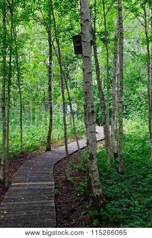 Wooden Footpath Through A Birchwood