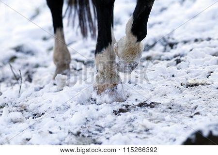 horse barefoot hoof
