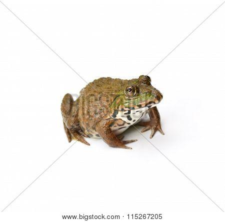 Frog On White background.