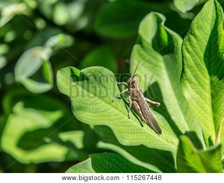 The grasshopper on the green leaf.