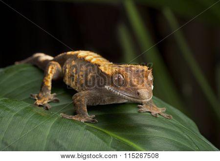 Crested Gecko Side Profile