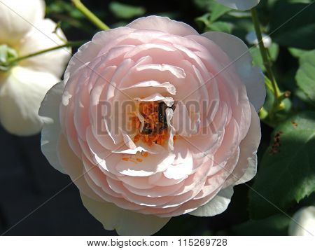 Rose with two bees