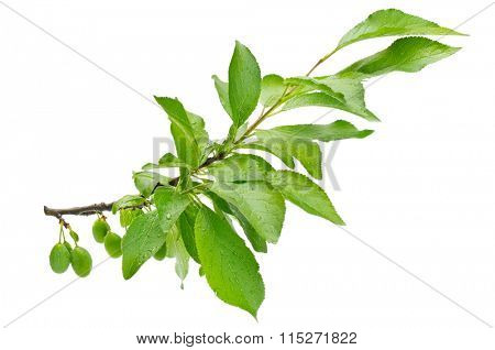 branch of plum isolated on a white background