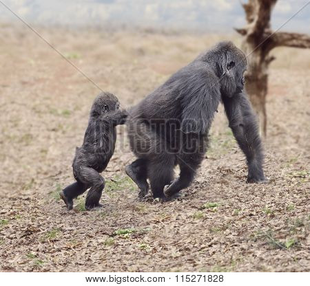 Gorilla Female with Her Baby Walking