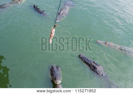 Crocodile Feeding With Chicken