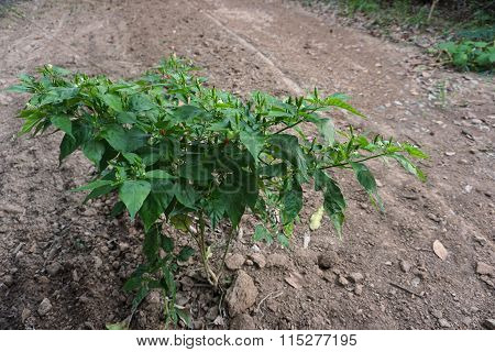 Guinea Pepper Plant