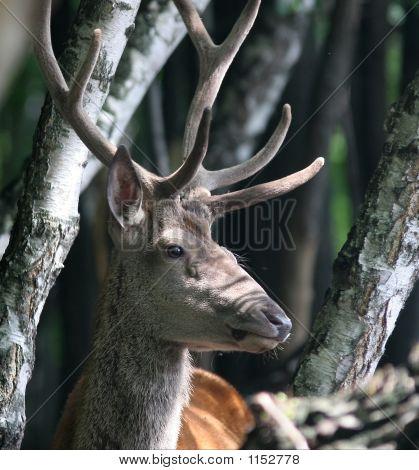 Portrait Of Red Deer