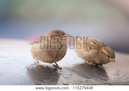 Two Sparrows On The Roof