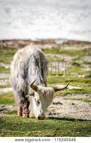 Big White Yak grazing