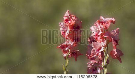 pink gladiolus in garden. blur green background