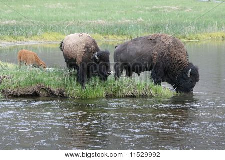 Bison Family in Harmony
