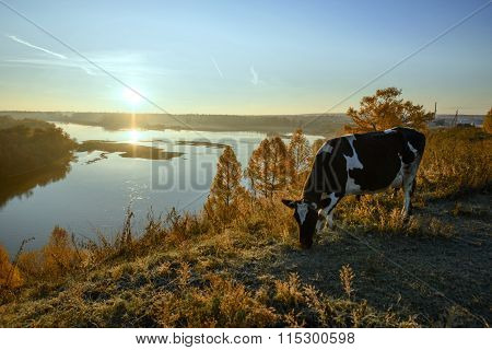 Cow Grazing In The Morning At Dawn