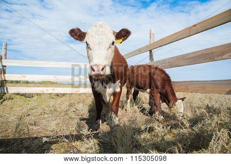 Calf In The Paddock