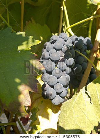 Red Grapes On Grapevine Just Before Harvesting