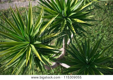 High Angle View Of Yucca Aloifolia Spreading Leaf Tops.
