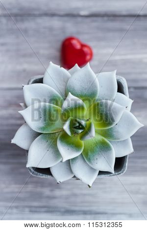 Agave Pot Lollipop Shape Heart