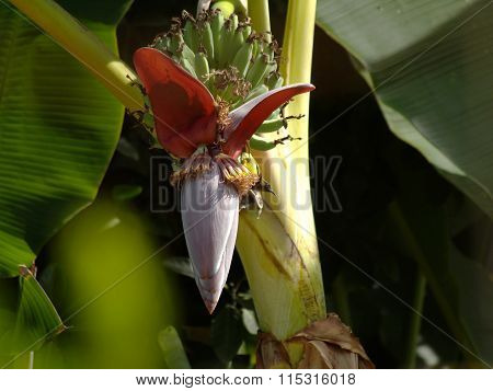 banana flower and Olive-backed sunbird