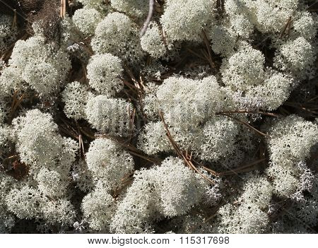 Reindeer lichen, close-up