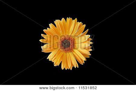 orange color daisy