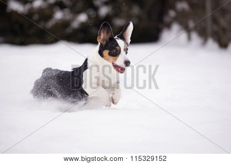 welsh corgi cardigan dog outdoors in winter