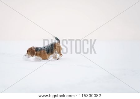 beagle dog outdoor running in snow
